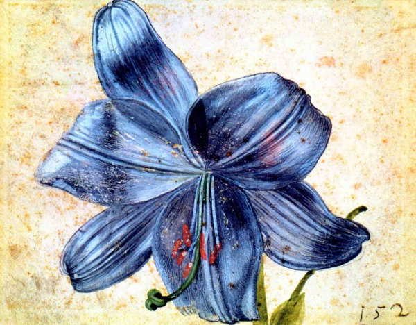 Durer's watercolour study of a lily, 1526.